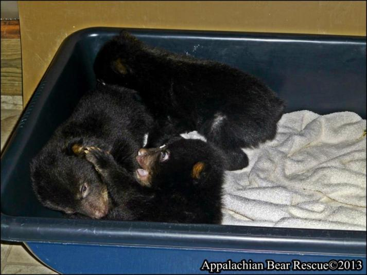 Bear Cubs, Photo coourtesy of the Appalacian Bear Rescue