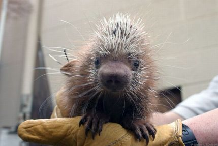 cute_baby_porcupines_17