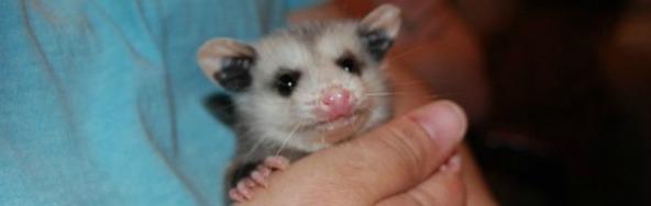 Possum banner