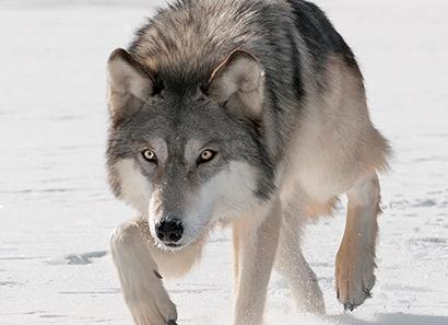 mammal_gray-wolf_600x300
