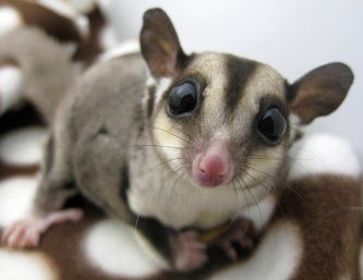 sugargliders